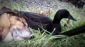 Cão e pato Imagem de Stock Royalty Free