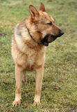 Cão e pedra Fotos de Stock