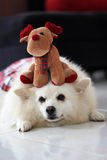 Cão e Rudolph Foto de Stock Royalty Free