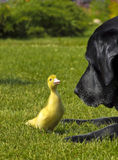 Cão e um pato Fotografia de Stock Royalty Free