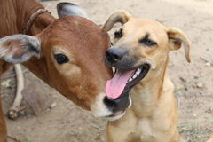 Cão e vitela Fotos de Stock