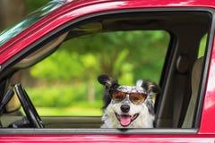 Cão em óculos de sol vestindo do carro imagem de stock royalty free