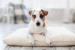Cão em casa Fotos de Stock