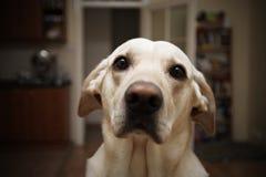 Cão em casa Imagem de Stock