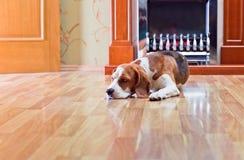 Cão em um assoalho Foto de Stock