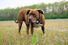 Cão em um campo Foto de Stock Royalty Free