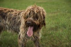 Cão em um campo Fotos de Stock