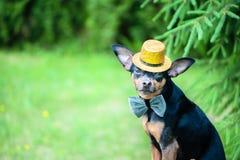 Cão em um chapéu e em um laço, uma imagem de um mágico, uma arte do circo imagem de stock