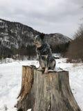 Cão em um coto de árvore grande Fotografia de Stock