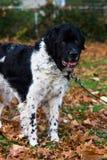 Cão em um laço-Para fora Imagem de Stock Royalty Free