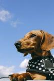 Cão em um parque Foto de Stock Royalty Free