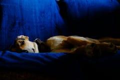 Cão em um sofá azul Fotos de Stock Royalty Free