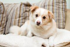 Cão em um sofá que olha o stright para a frente Fotos de Stock Royalty Free