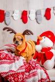 Cão em um traje da rena do Natal imagens de stock