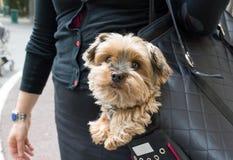 Cão em uma bolsa Fotografia de Stock