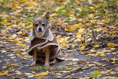 Cão em uma capa de chuva ao andar em um parque do outono imagens de stock