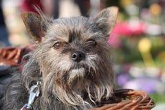 Cão em uma cesta Fotografia de Stock Royalty Free