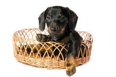 Cão em uma cesta imagem de stock royalty free