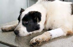 Cão em uma clínica veterinária Fotos de Stock Royalty Free
