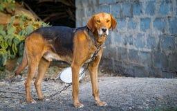 Cão em uma corrente foto de stock