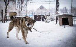 Cão em uma corrente Imagem de Stock