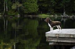 Cão em uma doca da beira do lago Imagem de Stock Royalty Free