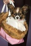 Cão em uma mulher nova \ 'no saco de s. Foto de Stock Royalty Free