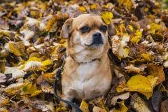 Cão em uma pilha de folhas Imagem de Stock