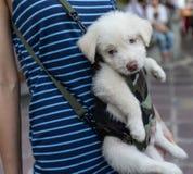 Cão embaraçado que está sendo levado Fotos de Stock Royalty Free
