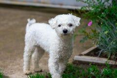 Cão encaracolado branco bonito no close-up do jardim Imagens de Stock Royalty Free