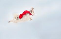 Vôo super encaracolado engraçado do cão Fotografia de Stock Royalty Free