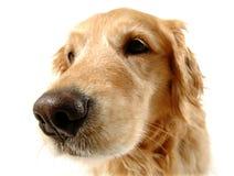 Cão engraçado Foto de Stock Royalty Free