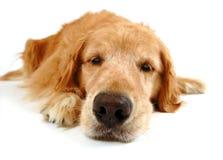 Cão engraçado Fotos de Stock