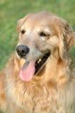Cão engraçado Foto de Stock