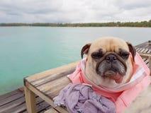 Cão engraçado bonito do pug que relaxa, descansando, ou dormindo no bea do mar Fotografia de Stock Royalty Free