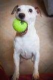 Cão engraçado com bola de tênis fotografia de stock