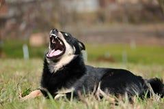 Cão engraçado com dentes descobertos imagens de stock