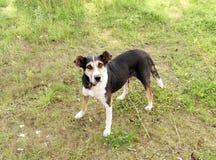 Cão engraçado da vila que está na grama fotografia de stock