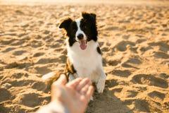 Cão engraçado de sorriso de border collie na praia mar no fundo fotografia de stock