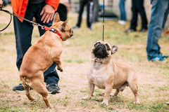 Cão engraçado do buldogue dois francês que joga em exterior Imagem de Stock Royalty Free