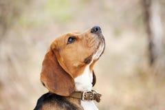 Cão engraçado do lebreiro Imagens de Stock