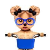 Cão engraçado do piloto com bicicleta Conceito do esporte Imagem de Stock