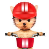 Cão engraçado do piloto com bicicleta e capacete Foto de Stock Royalty Free