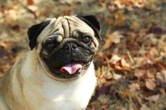 Cão engraçado do pug Imagem de Stock