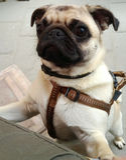 Cão engraçado do pug fotos de stock royalty free
