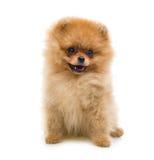 Cão engraçado do Spitz fotos de stock royalty free