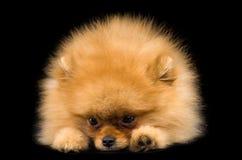 Cão engraçado do Spitz imagem de stock royalty free
