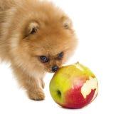 Cão engraçado do Spitz Imagens de Stock