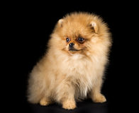 Cão engraçado do Spitz imagem de stock