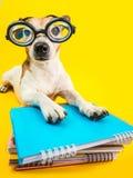 Cão engraçado em vidros e em livros redondos Fundo amarelo De volta ao tema da escola Preperetion do estudante ao exame Imagens de Stock